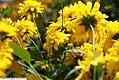 Rudbeckia laciniata Goldquelle 2zz.jpg