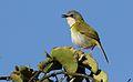 Rudd's apalis, Apalis ruddi, at Ndumo Nature Reserve, KwaZulu-Natal, South Africa (28833477602).jpg