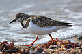 Ruddy Turnstone (Arenaria interpres) (16308700896).jpg