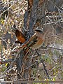 Rufous-backed Redstart (Phoenicurus erythronotus) (23663536732).jpg