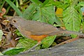 Rufous-bellied Thrush (Turdus rufiventris) (29231601391).jpg