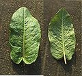 Rumex obtusifolius (Leaf Front and Backside).jpg