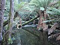 Russel Falls Creek Tree Ferns 1 - panoramio.jpg