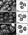 Russula (10.3897-mycokeys.75.53673) Figure 4.jpg