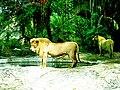 Sư tử.jpg