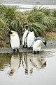 SGI-2016-South Georgia (Salisbury Plain)–King penguin (Aptenodytes patagonicus) 02.jpg
