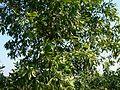 Sabah Salwood (2139032304).jpg
