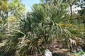Sabal palmetto 11zz.jpg