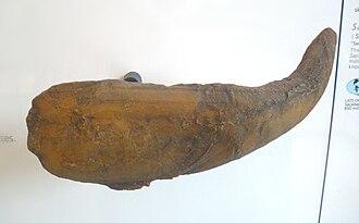 Sacabambaspis - Sacabambaspis fossil