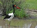 Saddle-billed Stork (Epphippiorhynchus senegalensis) female (6041062835).jpg