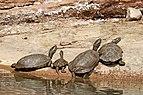Saharan pond turtles (Mauremys leprosa saharica) adults and juvenile.jpg
