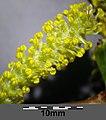 Salix alba sl17.jpg
