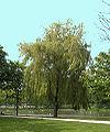 Salix babylonica(01).jpg