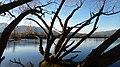 Salix fragilis along the Columbia River in East Wenatchee Douglas County Washington.jpg