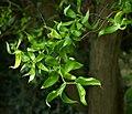 Salix matsudana B.jpg