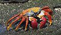 Sally Lightfoot Crab (Grapsus grapsus) - Galápagos Islands.jpg