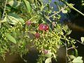 Salvadora persica (2134695171).jpg