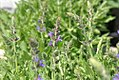 Salvia nemorosa Rugen 0zz.jpg