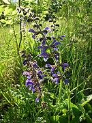 Salvia pratensis 2581.jpg