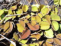 Salvinia auriculata.jpg