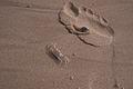 Sand Crab (Ocypode pallidula).jpg