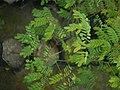 Sapling Adenanthera pavonina P1140194 02.jpg