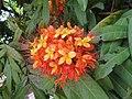 Saraca asoca - Sita Ashok flowers 2014 (2).jpg