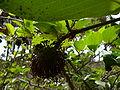 Sarcocephalus latifolius 0003.jpg