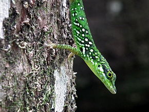 Description de l'image Savannah Anole.JPG.