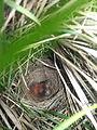 Savannah Sparrow, Passerculus sandwichensis, baby birds, nestlings with eggs in ground nest AB.jpg