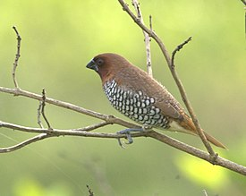Scaly breasted munia Lonchura punctulata.jpg