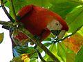 Scarlet Macaw (Ara macao) (6972880502).jpg