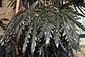 Schefflera elegantissima 8zz.jpg