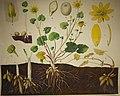 Schmeils Botanische Wandtafeln 02.jpg
