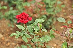 English: Hybrid Tea / Large-Flowered. Bloom: D...