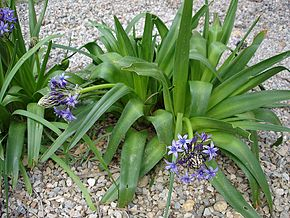 Description de l'image  Image:Scilla peruviana1.jpg .