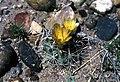 Sclerocactus whipplei fh 53 10 AZ B.jpg