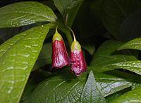 Scopolia carniolica 2016-04-19 7981b.JPG