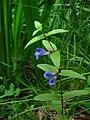 Scutellaria galericulata2.jpg