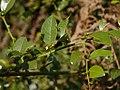 Scutia myrtina (Burm. f.) Kurz (32380594644).jpg
