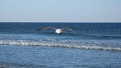 Mewa na fali w Sunset Beach