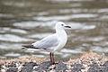 Seagull 1194 (10214741133) (4).jpg