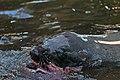 Seal (24360922956).jpg