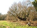 Seat by ancient oak in Rosemary's Meadow - geograph.org.uk - 1614961.jpg