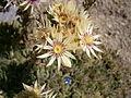 Sempervivum grandiflorum 02.jpg