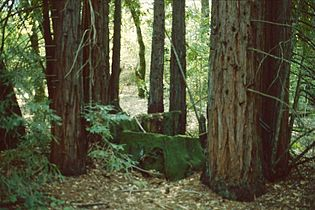 Sequoia sempervirens 1.jpg