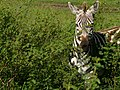 Serengeti 1 (18) (14145746112).jpg