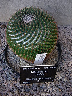 Sheldon's pincushion - Mammillaria sheldonii.jpg