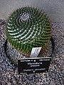 Sheldon's pincushion - Mammillaria sheldonii.jpg