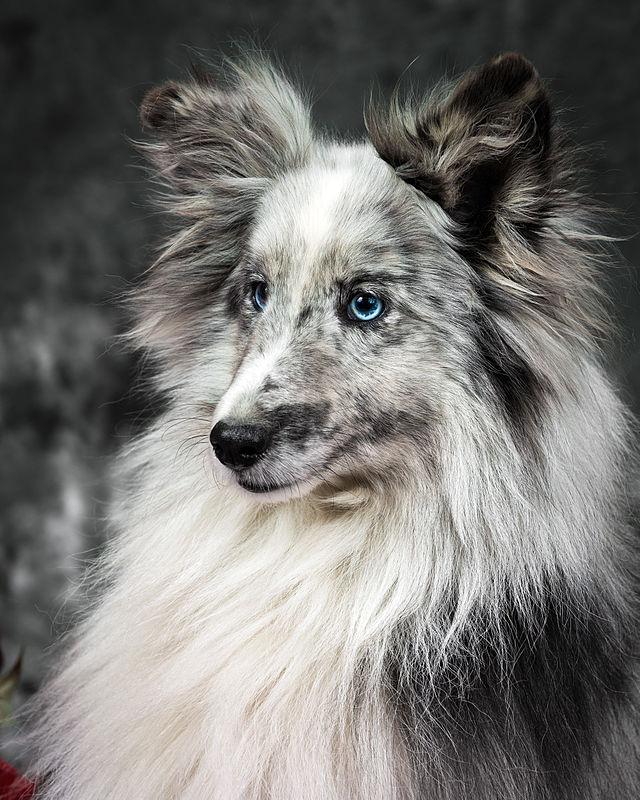 Wonderbaar Shetland Sheepdog - Wikiwand GI-87
